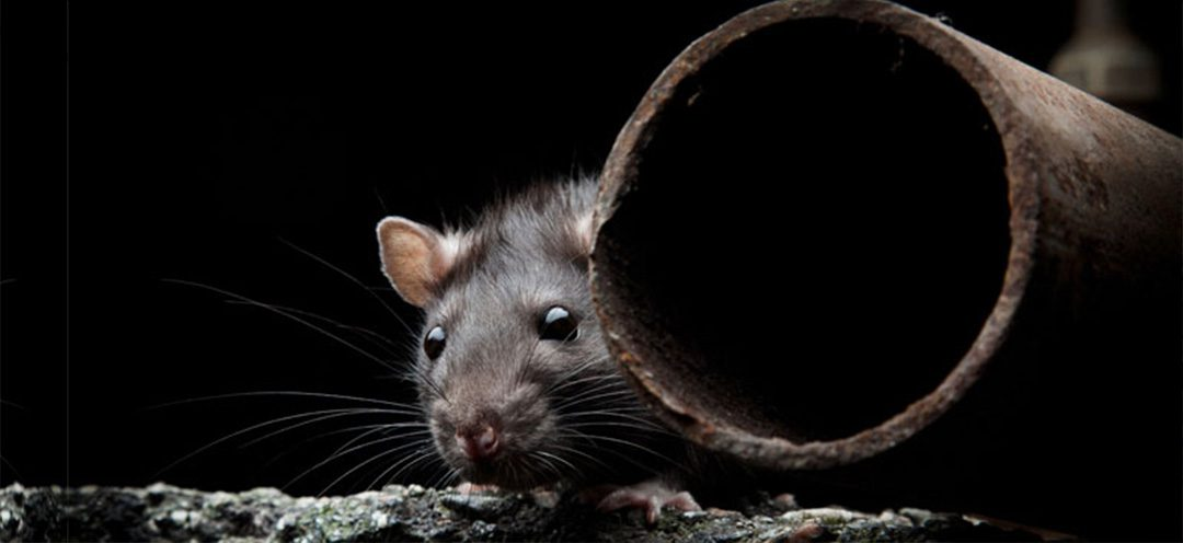 Rodent Proof Your Drains